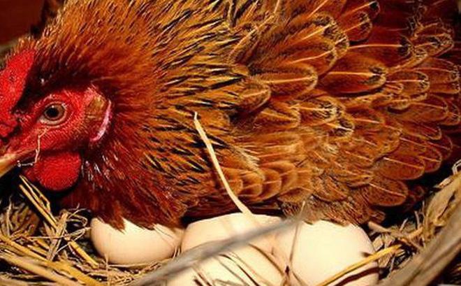 Quan sát sự sống kỳ diệu của phôi thai gà 3 ngày tuổi
