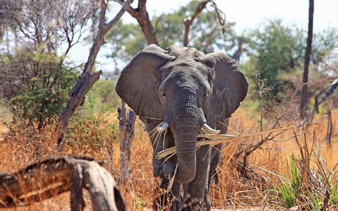 1001 thắc mắc: Những động vật nào siêu to khổng lồ nhất thế giới? - Ảnh 1.