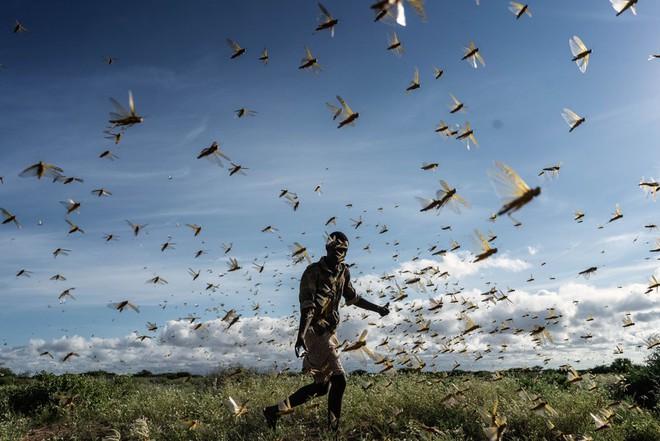 Chùm ảnh rợn người về đại dịch châu chấu đang hoành hành ở châu Phi: 'Binh đoàn' nghìn tỷ con châu chấu với sức ăn bằng 35.000 người/ngày bay kín trời - ảnh 23