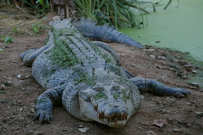 1001 thắc mắc: Những động vật nào siêu to khổng lồ nhất thế giới? - Ảnh 4.