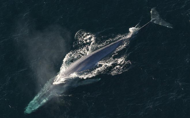 1001 thắc mắc: Những động vật nào siêu to khổng lồ nhất thế giới?