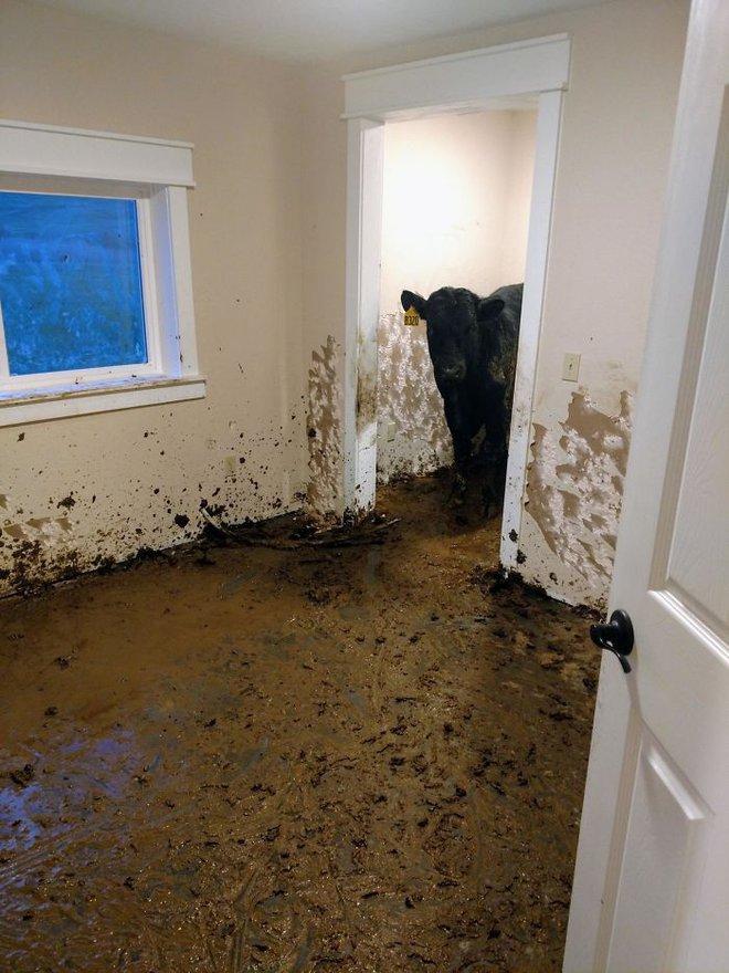 2. Một căn nhà ở Montana, Mỹ vừa mới xây xong, chủ còn chưa kịp đến ở thì đã bị 1 lũ bò chiếm giữ, và 1 tháng sau họ mới bàng hoàng phát hiện ra sự thật kinh hoàng này. Ôi, tôi thật không còn biết nói gì nữa.
