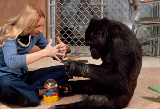 Được 1 hộp quà, phản ứng của khỉ đột thông minh nhất thế giới khiến ai cũng tan chảy - Ảnh 1.