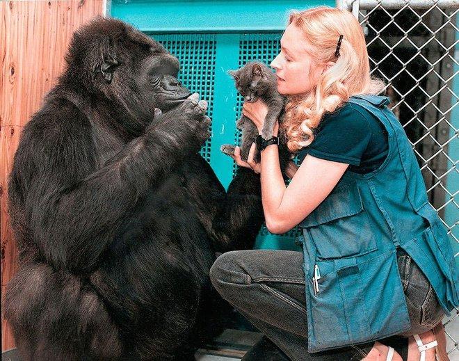 Được 1 hộp quà, phản ứng của khỉ đột thông minh nhất thế giới khiến ai cũng tan chảy - Ảnh 2.