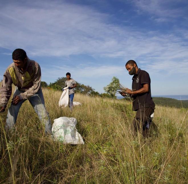 Cây Artemisia có phải là tiên dược chống Covid-19 của Châu Phi? - Ảnh 1.