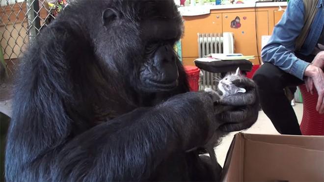 Được 1 hộp quà, phản ứng của khỉ đột thông minh nhất thế giới khiến ai cũng tan chảy - Ảnh 4.