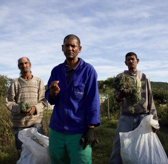 Cây Artemisia có phải là tiên dược chống Covid-19 của Châu Phi? - Ảnh 2.