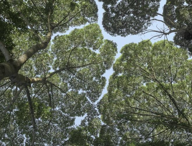 """Không chỉ con người, cây xanh cũng """"giãn cách xã hội"""" và đây là lý do - Ảnh 4."""