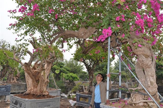 Cận cảnh cây hoa giấy Vạn hoa lầu gần 3 tỷ đồng độc nhất vô nhị của đại gia Phú Thọ - Ảnh 6.