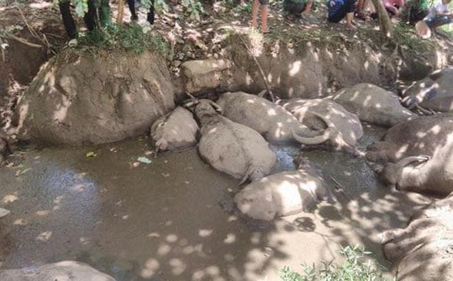 Hà Nội: Đàn trâu 14 con lăn đùng ra chết, người dân nghi bị kẻ gian đầu độc