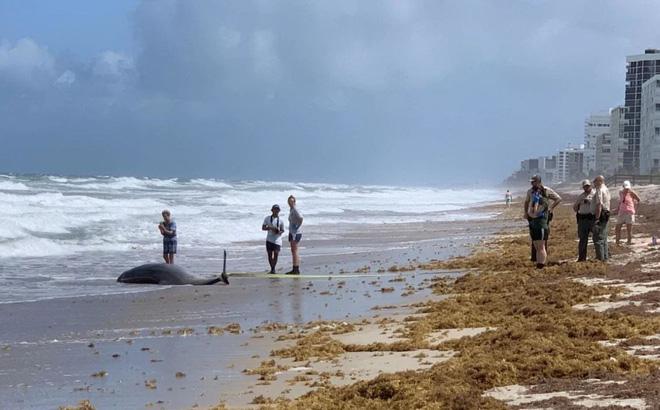 Tìm thấy cả thuốc diệt cỏ trong xác cá heo và cá voi mắc cạn