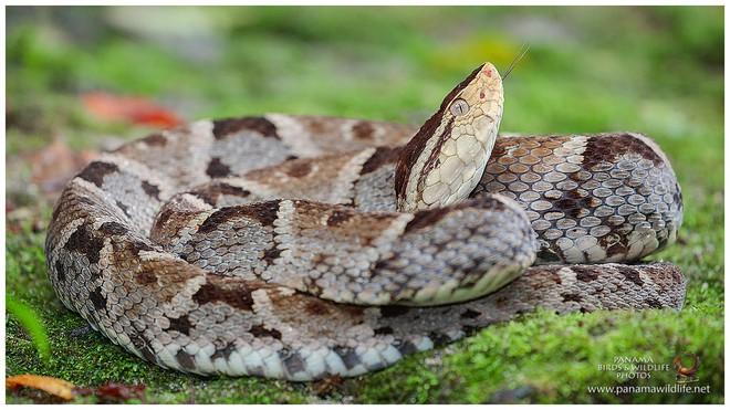 Lấy 3 miếng thịt cho rắn Taipan, rắn chúa bụi và rắn Fer De Lance cắn: Kết quả bất ngờ! - Ảnh 4.