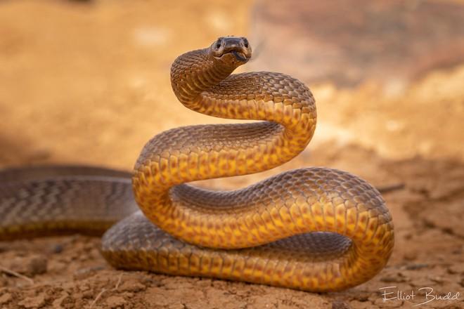 Lấy 3 miếng thịt cho rắn Taipan, rắn chúa bụi và rắn Fer De Lance cắn: Kết quả bất ngờ! - Ảnh 2.