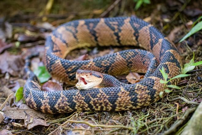 Lấy 3 miếng thịt cho rắn Taipan, rắn chúa bụi và rắn Fer De Lance cắn: Kết quả bất ngờ! - Ảnh 3.