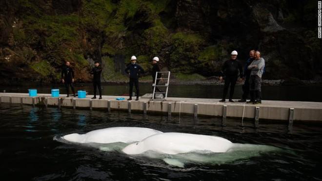 Nỗ lực phi thường trả tự do cho cặp cá voi trắng siêu hiếm: Nụ cười của chúng khiến ai cũng ấm lòng! - Ảnh 2.