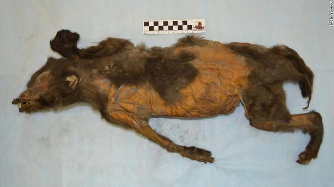Phát hiện sinh vật kỳ lạ bên trong thân xác của con chó sói 14.000 tuổi - Ảnh 1.