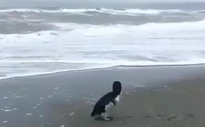 Phản ứng của chú chim cánh cụt nhỏ bé lần đầu được ra biển