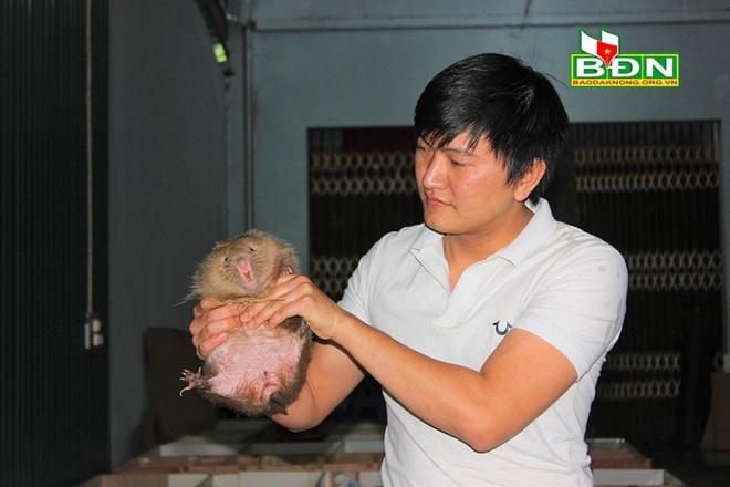 Đắk Nông: Nhốt loài thú ham ăn tre nứa ở trong nhà, trai Đắk Nông nuôi không kịp để bán - Ảnh 3.