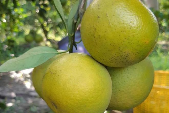 Điểm mặt gọi tên các loại cam và cách chọn cam chuẩn xịn nhiều nước ngọt thơm nhất - Ảnh 6.