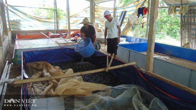 Đánh liều nuôi loài ốc siêu đẻ, có thời điểm 8X Thái Nguyên kiếm chục triệu mỗi ngày - Ảnh 9.
