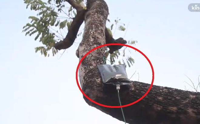 Video: Gắn túi truyền dịch để cứu cây sưa đỏ quý hiếm đang dần chết khô