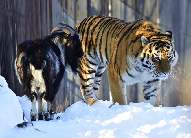 Làm con mồi dâng cho hổ, chú dê không bị ăn thịt còn trở thành bạn với kẻ thù, đi đâu cũng có nhau nhưng vẫn nhận cái kết bi đát vì... giỡn nhây - Ảnh 5.