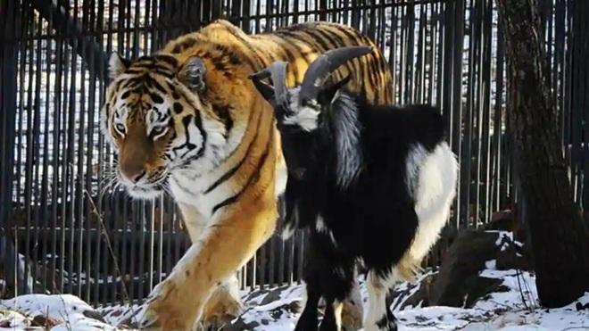 Làm con mồi dâng cho hổ, chú dê không bị ăn thịt còn trở thành bạn với kẻ thù, đi đâu cũng có nhau nhưng vẫn nhận cái kết bi đát vì... giỡn nhây - Ảnh 6.
