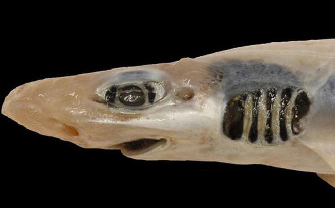 """Lần đầu tiên khoa học tìm ra con cá mập """"đáng thương"""" nhất lịch sử: Việc nó tồn tại được đến giờ phút này hoàn toàn là nhờ may mắn"""