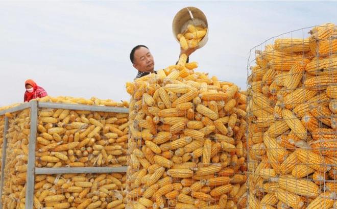 Lộ video có hình ngô mốc trong kho dự trữ quốc gia TQ, người dân e ngại an ninh lương thực