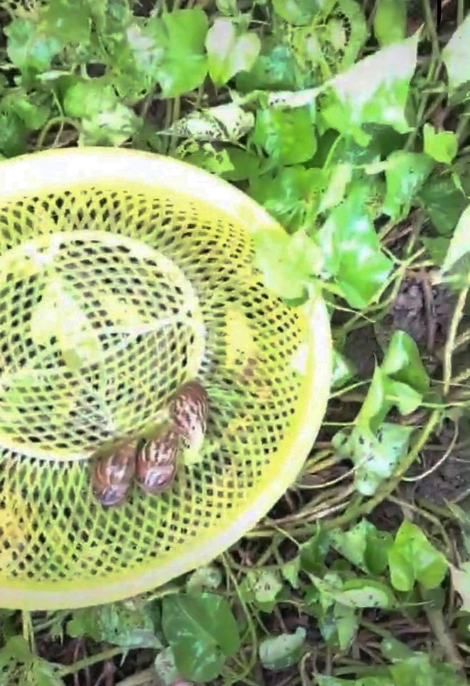 Nghe chất nhầy của ốc sên có khả năng làm đẹp da, cô gái lập tức ra vườn bắt cả bầy thả lên mặt làm thử nghiệm khiến dân mạng tranh cãi - Ảnh 1.
