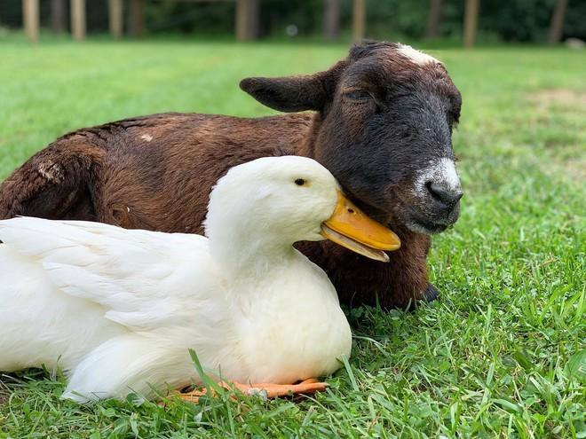 Tình bạn chưa từng có giữa dê già và vịt con trong khu bảo tồn Mỹ - Ảnh 1.