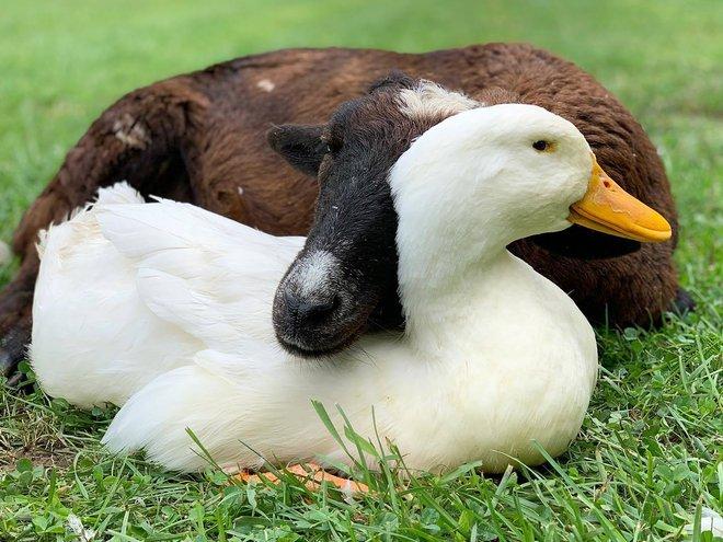 Tình bạn chưa từng có giữa dê già và vịt con trong khu bảo tồn Mỹ - Ảnh 2.