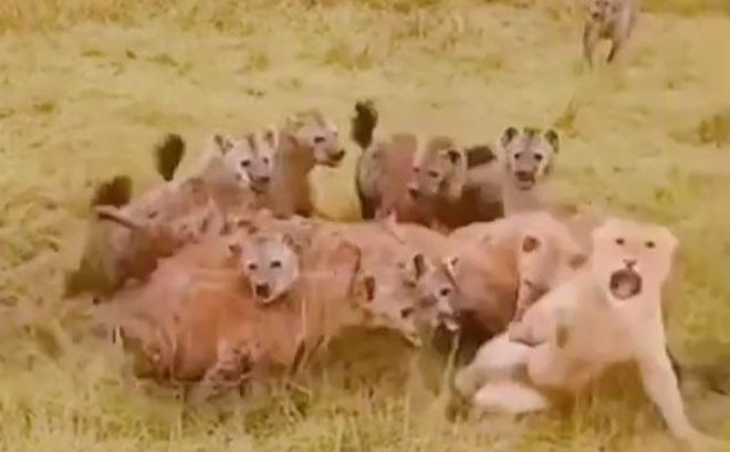 Sư tử bị linh cẩu 'hành hạ tả tơi' và màn giải cứu kịch tính