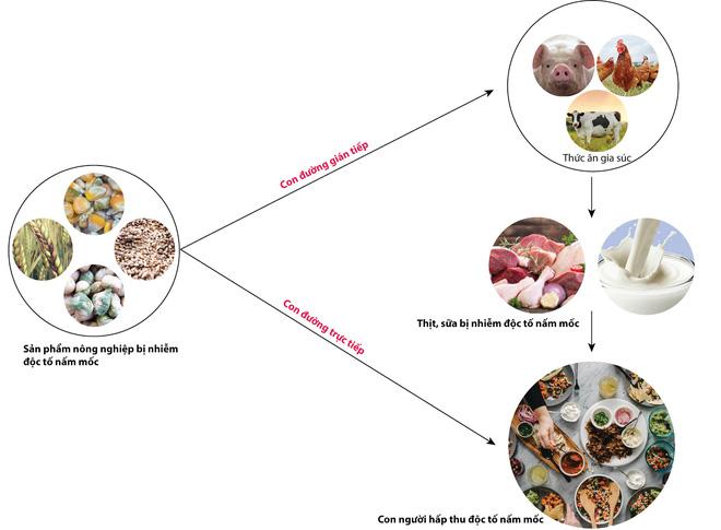 Từ nghiên cứu aflatoxin gây ung thư tại Việt Nam: 6 loại độc tố nấm nguy hiểm thế nào? - Ảnh 3.