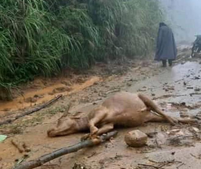Cơn bão số 5: Sạt lở đất sau bão vùi lấp đàn trâu 8 con ở Nghệ An - Ảnh 6.