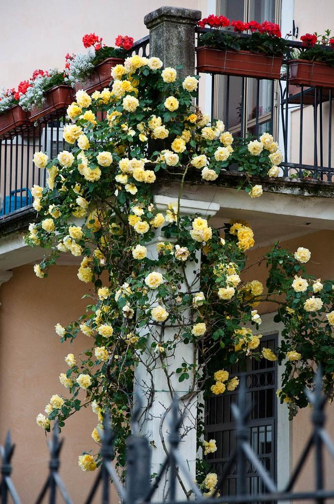 Ban công nhà bạn quanh năm sẽ rực rỡ sắc màu nhờ trồng 8 loại hoa này - Ảnh 5.
