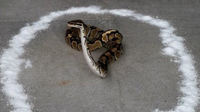 Lộ diện mùi hương khiến các loài rắn độc bỏ của chạy lấy người - Ảnh 4.