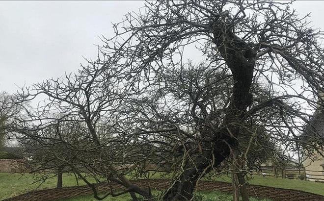 Sau gần 400 năm, cây táo của Newton vẫn đơm hoa kết trái
