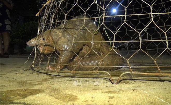 Bất ngờ thấy tê tê quý hiếm nặng 10kg bò ở trước cổng nhà, nhiều người cùng nhau vây bắt - Ảnh 2.