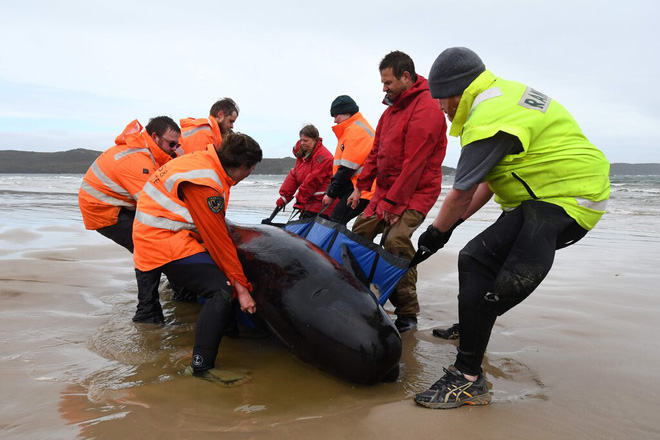 Bí ẩn đằng sau hiện tượng cá voi mắc cạn hàng loạt - Ảnh 2.