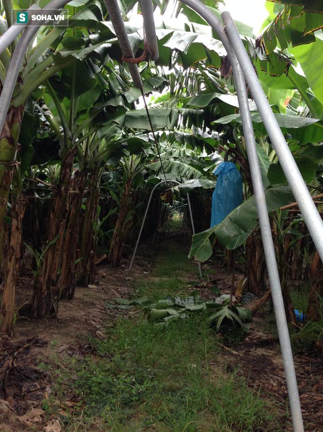 Nông dân triệu đô Huy chuối: Từ kiệt sức vì trồng mía sai cách đến vùng canh tác 1.000ha đất trên 6 tỉnh - Ảnh 2.