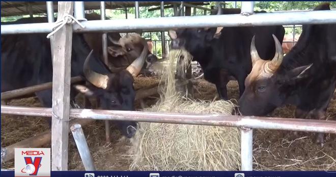 Hậu duệ bò tót rừng ở Ninh Thuận gầy trơ xương: Cử ngay cán bộ đến, tránh diễn biến xấu - Ảnh 2.