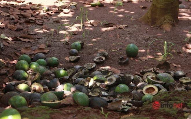 Đặc sản từng có giá trăm nghìn/kg giờ không ai mua, dân để rụng đầy gốc