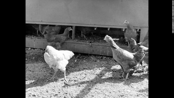 Cuộc đời kỳ lạ của con gà không đầu - Ảnh 1.