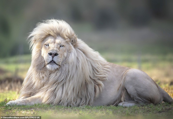 Loạt ảnh cận cảnh sư tử trắng ai nhìn cũng kinh ngạc - Ảnh 3.