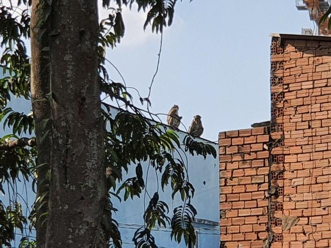 TPHCM: Lên phương án vây bắt đàn khỉ hoang đại náo khu dân cư  - Ảnh 2.