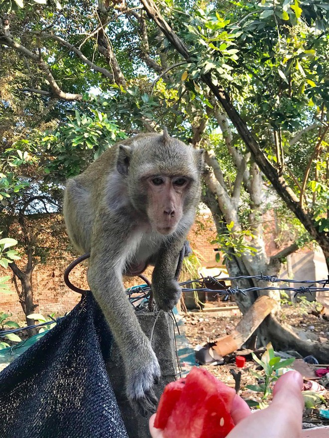 TPHCM: Lên phương án vây bắt đàn khỉ hoang đại náo khu dân cư  - Ảnh 3.