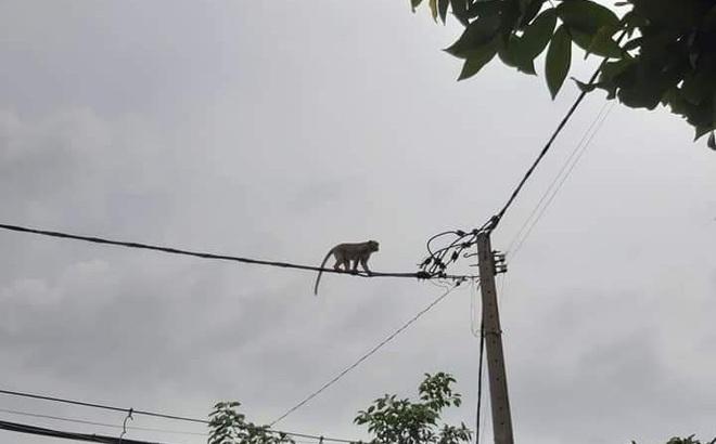 TPHCM: Lên phương án vây bắt đàn khỉ hoang 'đại náo' khu dân cư