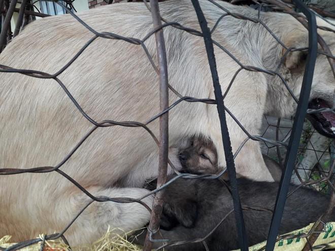 Hình ảnh khiến MXH Việt dậy sóng: Chó mẹ cho đàn con bú trước khi bị đưa vào lò mổ - Ảnh 4.