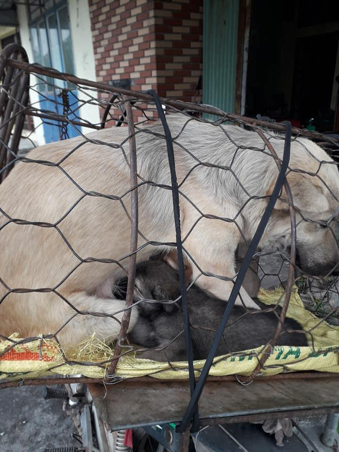Hình ảnh khiến MXH Việt dậy sóng: Chó mẹ cho đàn con bú trước khi bị đưa vào lò mổ - Ảnh 5.